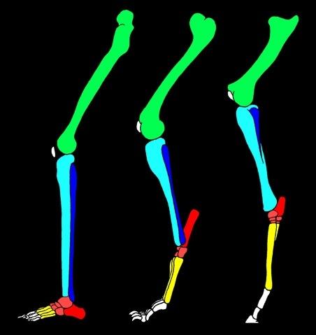 Anatomie compar