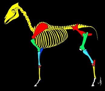 Squelette%20cheval%20Duperrex.jpg