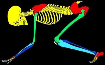 Squelette%20homme%204%20pattes%20Duperre
