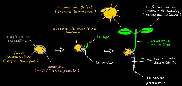 Cycle Vegetal