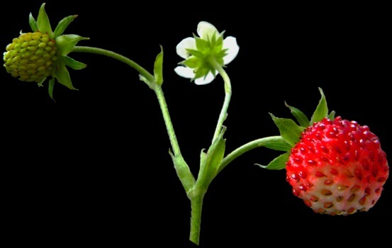 Fleur Et Fruit