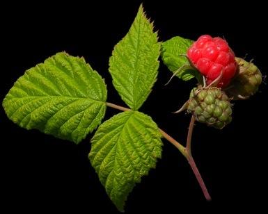 plant de fraisiers bio