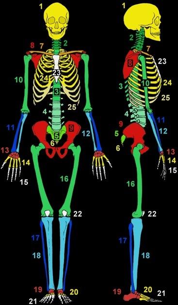 rôle os du squelette
